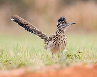 Greater Roadrunner - Laguna Seca Ranch - Edinburg, TX