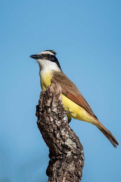 Great Kiskadee - Laguna Seca Ranch - Edinburg, TX