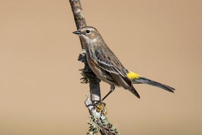 Yellow-rumped Warbler - Laguna Seca Ranch - Edinburg, TX