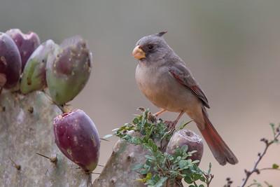 Pyrrhuloxia - female - Laguna Seca Ranch - Edinburg, TX