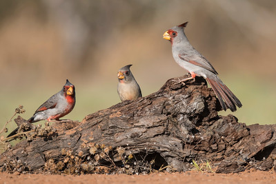 Pyrrhuloxia - group - Laguna Seca Ranch - Edinburg, TX