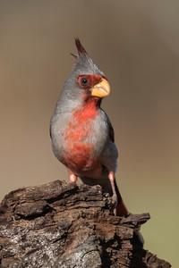 Pyrrhuloxia - male - Laguna Seca Ranch - Edinburg, TX