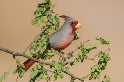 Pyrrhuloxia - male - Laguna Seca Ranch - Edinburg, TX