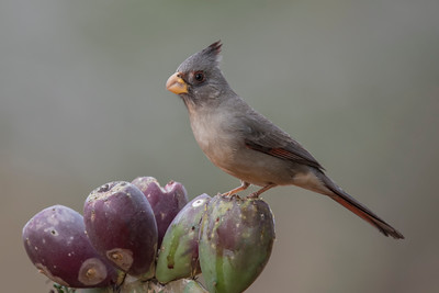 Pyrrhuloxia - female - Laguna Seca Ranch - Edinburg, TX