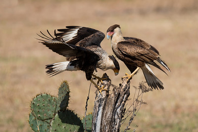 Crested Caracara - adult and juvenile - Laguna Seca Ranch-Edinburg, TX