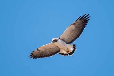 White-tailed Hawk - Laguna Seca Ranch-Edinburg, TX