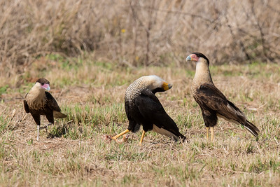 Crested Caracara - head throw (a mating display) - Laguna Seca Ranch-Edinburg, TX