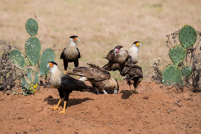 Crested Caracara - group - Laguna Seca Ranch-Edinburg, TX