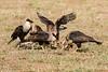 Crested Caracara - group - Laguna Seca Ranch-Edinburg, TX