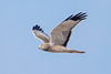 Northern Harrier - male - Laguna Seca Ranch-Edinburg, TX