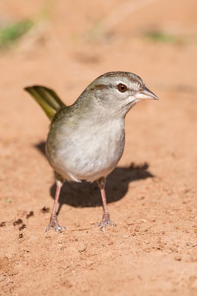 Olive Sparrow - Laguna Seca Ranch - Edinburg, TX