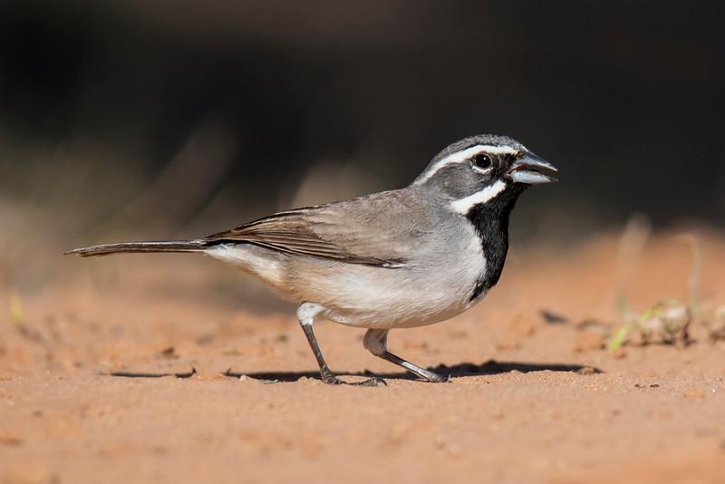 Black-throated Sparrow - Laguna Seca Ranch - Edinburg, TX