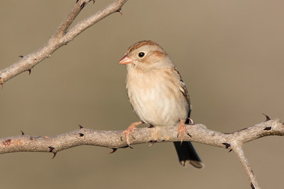 Field Sparrow - Laguna Seca Ranch - Edinburg, TX