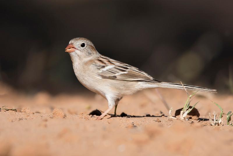 Field Sparrow - Laguna Seca Ranch - Edinburg, TX