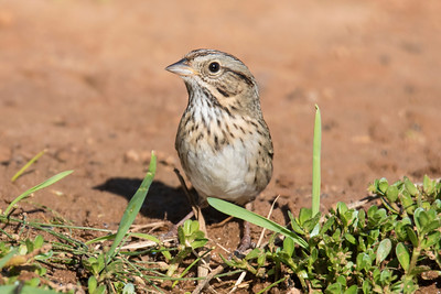 Lincoln's Sparrow - Laguna Seca Ranch - Edinburg, TX