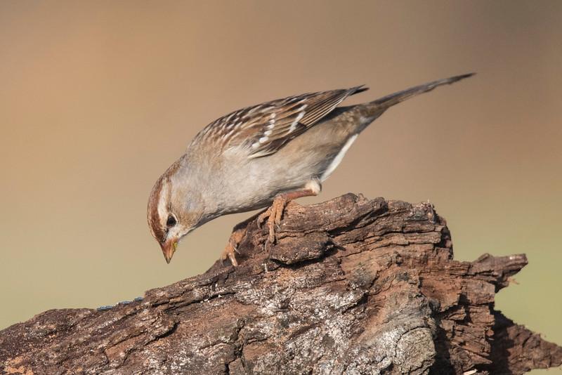 White-crowned Sparrow - Laguna Seca Ranch - Edinburg, TX