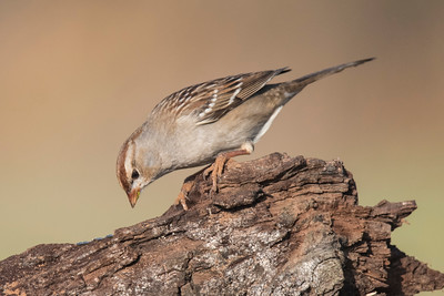 White-crowned Sparrow - Laguna Seca Ranch - Edinburg, TX