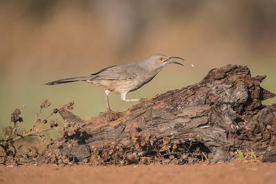 Curve-billed Thrasher - Laguna Seca Ranch - Edinburg, TX