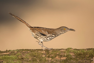 Long-billed Thrasher - Laguna Seca Ranch - Edinburg, TX