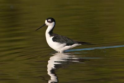 Black-necked Stilt - 2 - Estero Llano State Park - Weslaco TX
