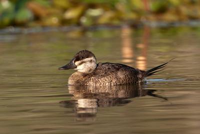 Ruddy Duck - female - Estero Llano State Park - Weslaco TX