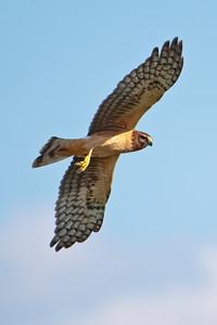 Northern Harrier - Estero Llano State Park - Weslaco TX