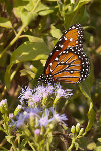 Queen Butterfly - Estero Llano State Park - Weslaco TX