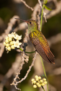 Buff-bellied Hummingbird - female - Estero Llano State Park - Weslaco TX