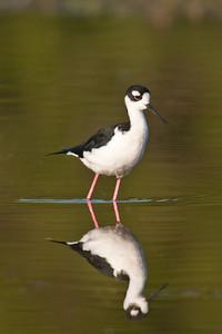 Black-necked Stilt - 1 - Estero Llano State Park - Weslaco TX
