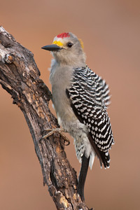 Golden-fronted Woodpecker - male - 2