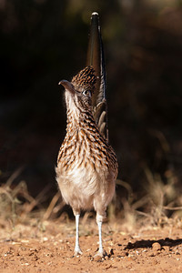 Greater Roadrunner - 2