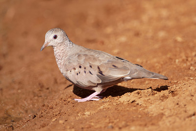 Common Ground-Dove - 3
