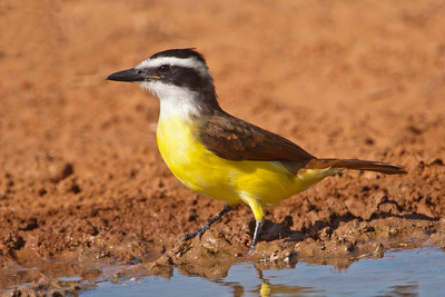 Great Kiskadee -1