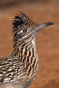 Greater Roadrunner - close-up