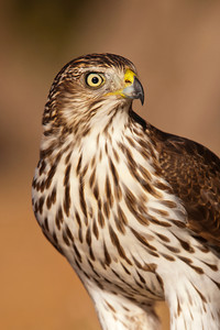Cooper's Hawk - close-up