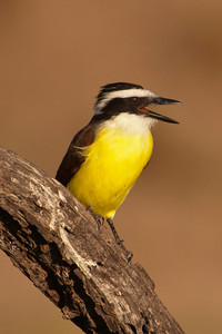 Great Kiskadee -2