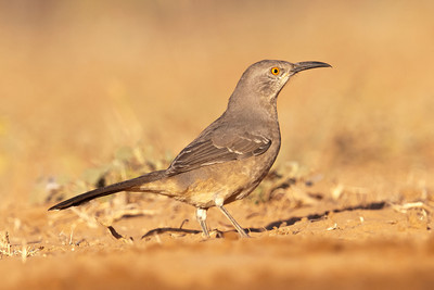 Curve-billed Thrasher - 3