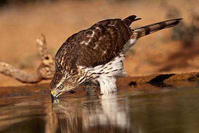 Cooper's Hawk - drinking