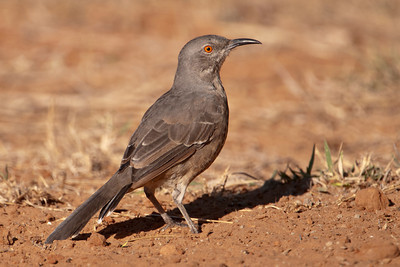 Curve-billed Thrasher - 1