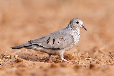 Common Ground-Dove - 1
