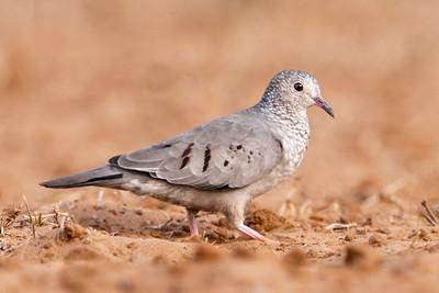 Common Ground-Dove - 1
