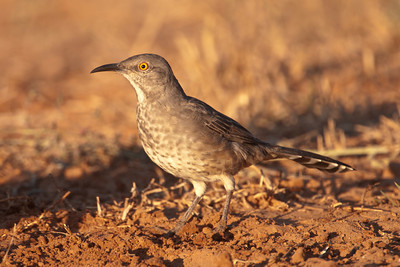 Curve-billed Thrasher - 2
