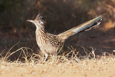 Greater Roadrunner - 1