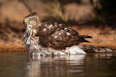 Cooper's Hawk - bathing