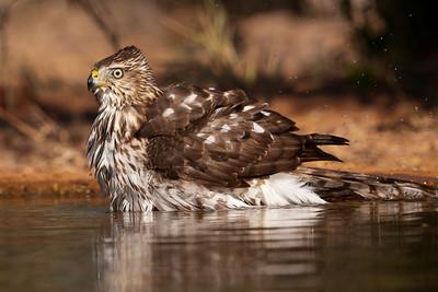 Cooper's Hawk - bathing