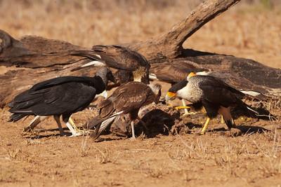 Group shot of raptors feeding - 2