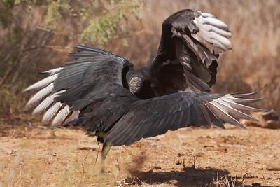 Black Vultures - fighting - 1