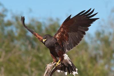 Harris's Hawk - 2