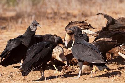 Group shot of raptors feeding - 1