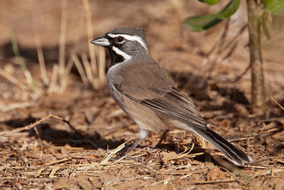 Black-throated Sparrow - 1